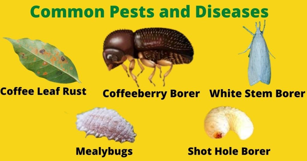Common Pest and Diseases