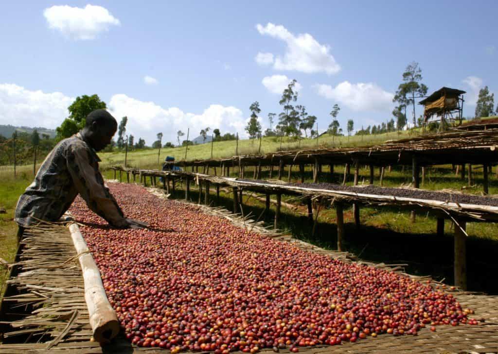 Dry Process of coffee