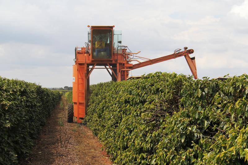 Mechanized Process of harvesting coffee