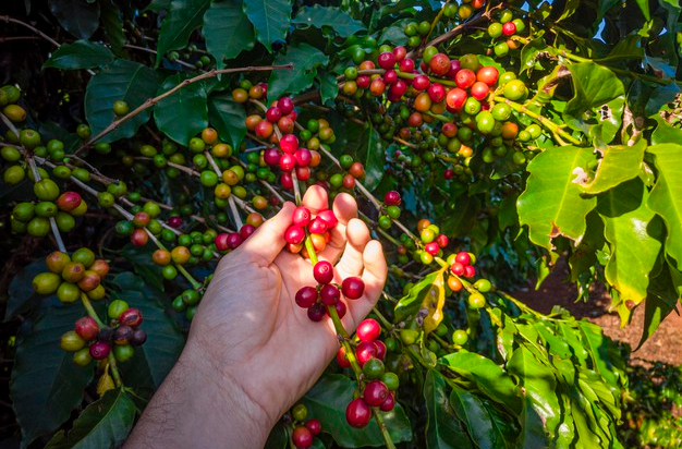 Picking process of coffee harvesting
